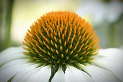 Coneflower blanc images stock