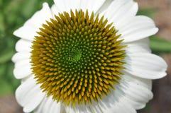 Coneflower blanco Foto de archivo libre de regalías