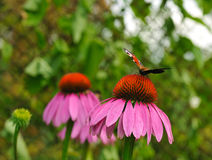 Coneflower with butterfly Stock Images