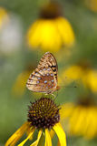 Coneflower and Butterfly. A macro shot of a Great Spangled Fritillary butterfly (Speyeria cybele) on top of a yellow coneflower (Echinacea paradoxa Stock Photo