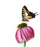 Coneflower Butterfly. Eastern Tiger Swallowtail butterfly and coneflower isolated on white background Royalty Free Stock Photos