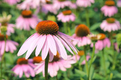 Coneflower. The close-up of coneflower flowers Stock Photos