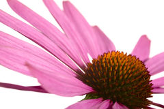 Coneflower Royalty Free Stock Photos