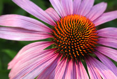 Free Coneflower Closeup Stock Images - 20602424
