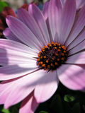 Coneflower closeup Royalty Free Stock Image