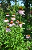 Coneflower colorido o echinacea púrpura en cama de flor abeja-amistosa del verano Imagen de archivo