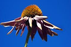 Coneflower contra un cielo azul Imagen de archivo libre de regalías