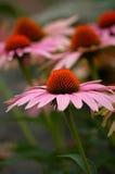 Coneflower cor-de-rosa Foto de Stock Royalty Free