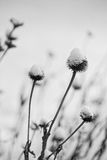 Coneflower covered in snow Royalty Free Stock Photography