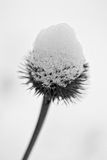 Coneflower covered in snow Stock Photo