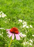 Coneflower and Daisy Fleabane Stock Images