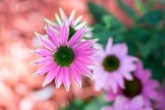 coneflower de couleur rose Photographie stock