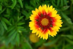 Coneflower de florescência (echinacea) que cresce no jardim Fotografia de Stock