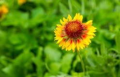 Coneflower de florescência (echinacea) que cresce no jardim Imagens de Stock Royalty Free