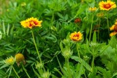 Coneflower de florescência (echinacea) que cresce no jardim Fotografia de Stock Royalty Free