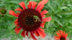 Coneflower del echinacea del mia de la abeja y de la mamá Fotografía de archivo libre de regalías