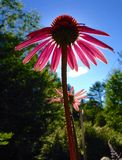 Coneflower dentellare Fotografia Stock