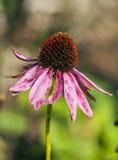 Coneflower (Echinacea) Obraz Royalty Free