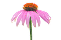 Coneflower-echinacea púrpura Fotos de archivo libres de regalías