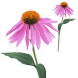 Coneflower - echinacea purpurea Fotografia Stock