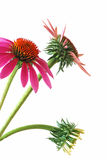 Coneflower - Echinacea  purpurea Royalty Free Stock Images