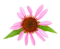 Coneflower or Echinacea purpurea with leaf  on white background Royalty Free Stock Photography