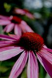 Coneflower (echinacea). Three pink coneflowers with red middle Royalty Free Stock Photos