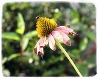 Coneflower en otoño imagenes de archivo