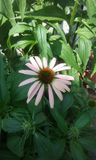 Coneflower. First Pink coneflower Royalty Free Stock Photos