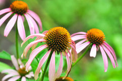 Coneflower in Garden Stock Photo