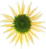 Coneflower giallo Immagini Stock