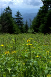 Coneflower giallo della montagna & x28; Pinnata& x29 del Ratibida; Fotografia Stock Libera da Diritti