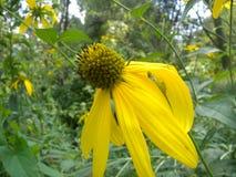 Coneflower giallo (pinnata del Ratibida) Fotografie Stock Libere da Diritti