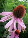 Coneflower Royalty Free Stock Images