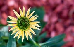 Coneflower jaune Photographie stock