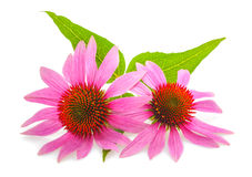 Coneflower. With leaves  isolated on white background Royalty Free Stock Photos
