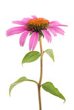 Coneflower Stock Photography