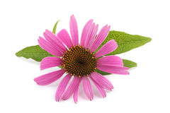 Coneflower. With leaves  isolated on white background Stock Photos