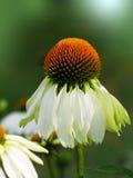 Coneflower. Macro shot of a coneflower & x28;echinacea& x29 Stock Images