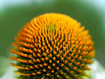 Coneflower. Macro shot of a coneflower & x28;echinacea& x29 Royalty Free Stock Photos
