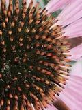 Coneflower-Mitteblumenblätter lizenzfreie stockfotografie