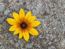Coneflower on Mossy Stone. A black-eyed susan on a mossy stone Stock Image