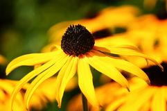 Coneflower orange, fulgida de Rudbeckia images stock
