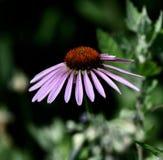 Coneflower púrpura foto de archivo