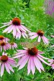 Coneflower púrpura fotografía de archivo