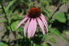 Coneflower púrpura del este de la flor del purpurea del Echinacea con la abeja Imagen de archivo