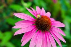Coneflower púrpura, purpurea del Echinacea, con la abeja recogiendo el polen Fotos de archivo