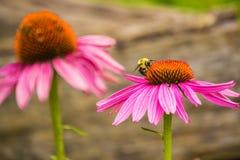 Coneflower púrpura y abeja Fotografía de archivo