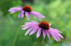 Coneflower. Photo of eastern purple coneflower Royalty Free Stock Image