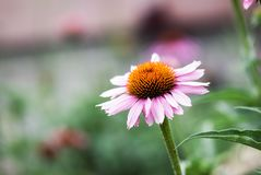 Coneflower. A pink coneflower blooms in a summer garden Stock Image